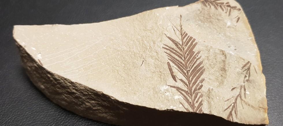 Beydağları'nda 65 milyon yıllık bitki fosili